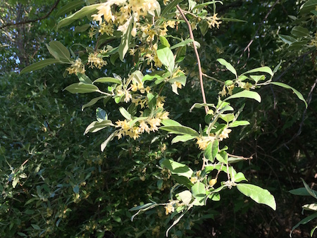 Autumn Olive Shrub Flowers