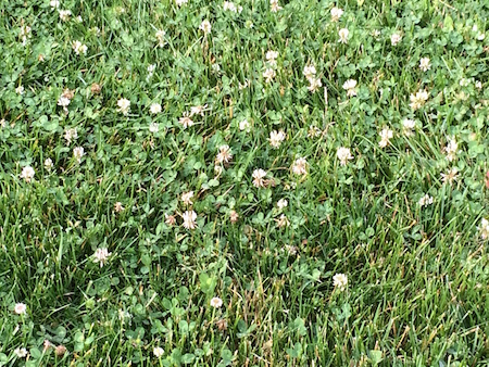 Clover in Lawn: Good or Bad?